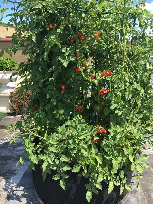 Tomatoes in dynapot